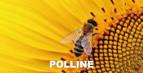 polline essiccato